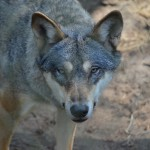 wolf-537163_1920